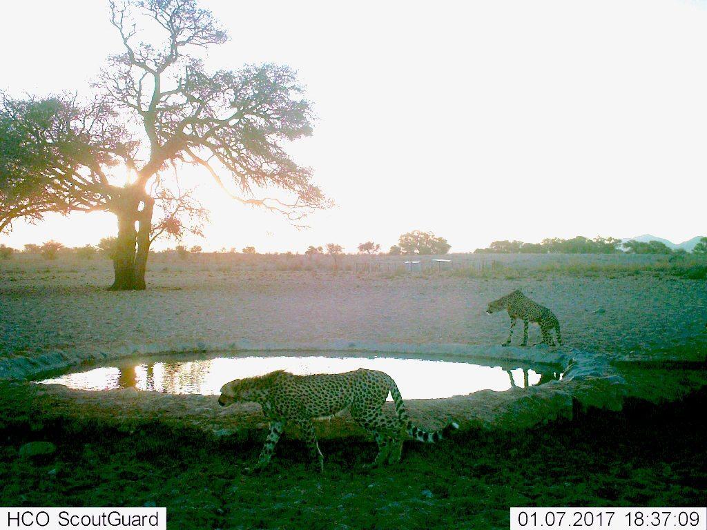 juvenile cheetah at water hole